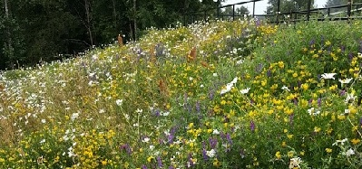 Wild Flowers at Leisure Centre Ramp