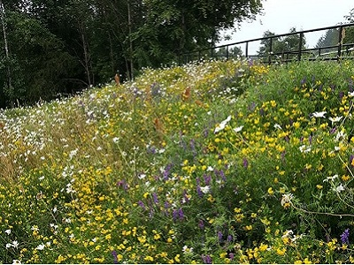 Wild flowers at leisure centre cycle ramp